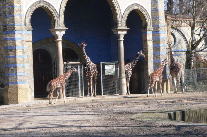 Nur die Giraffen schienen …